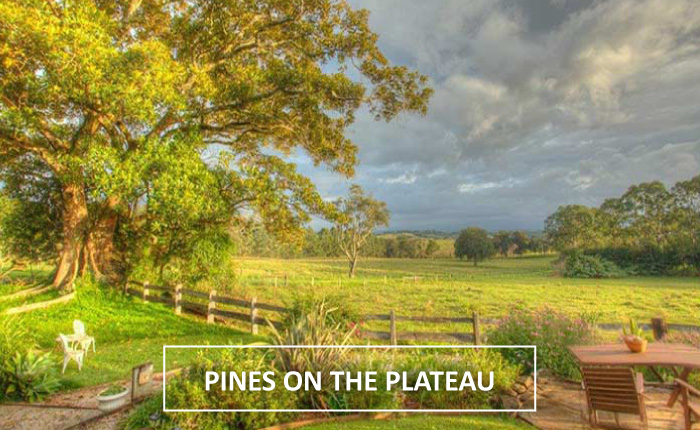 pines on the plateau